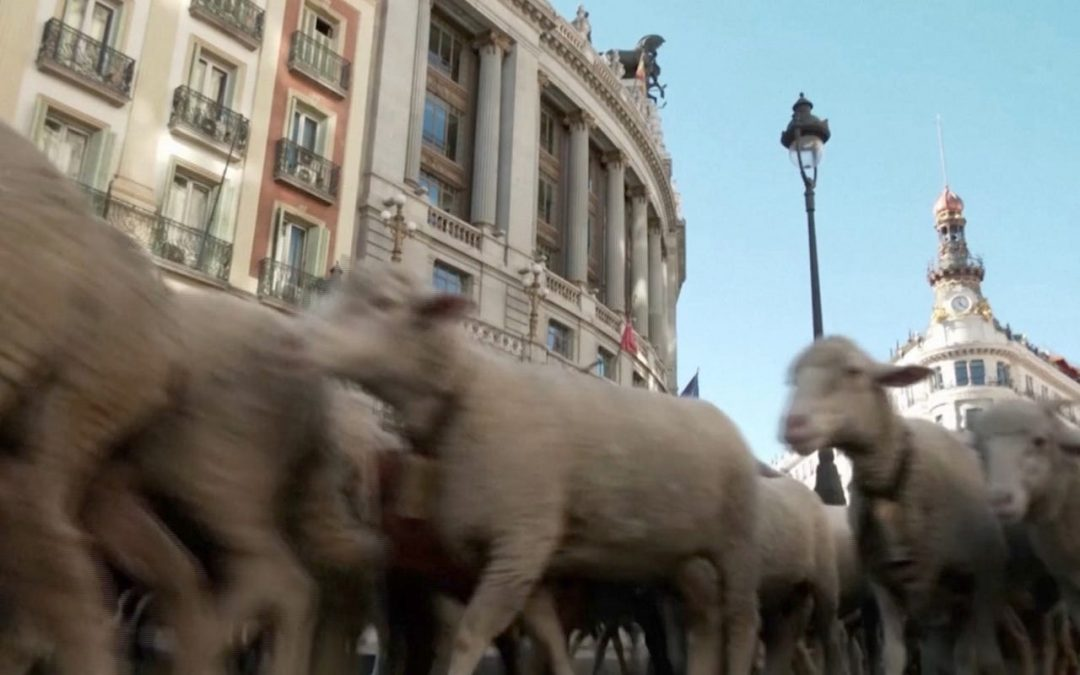 These sheep are walking in the streets of Madrid and are headed south for the winterUSA TODAY